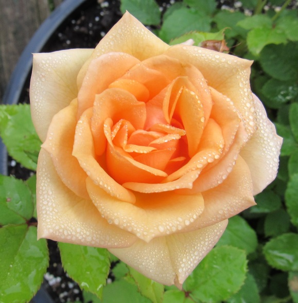 Orange Rose After Rain